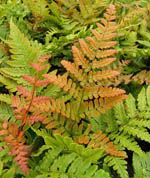 Dryopteris_erythrosora_Brilliance-th