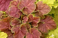 Heuchera-Miracle-Fall.jpg