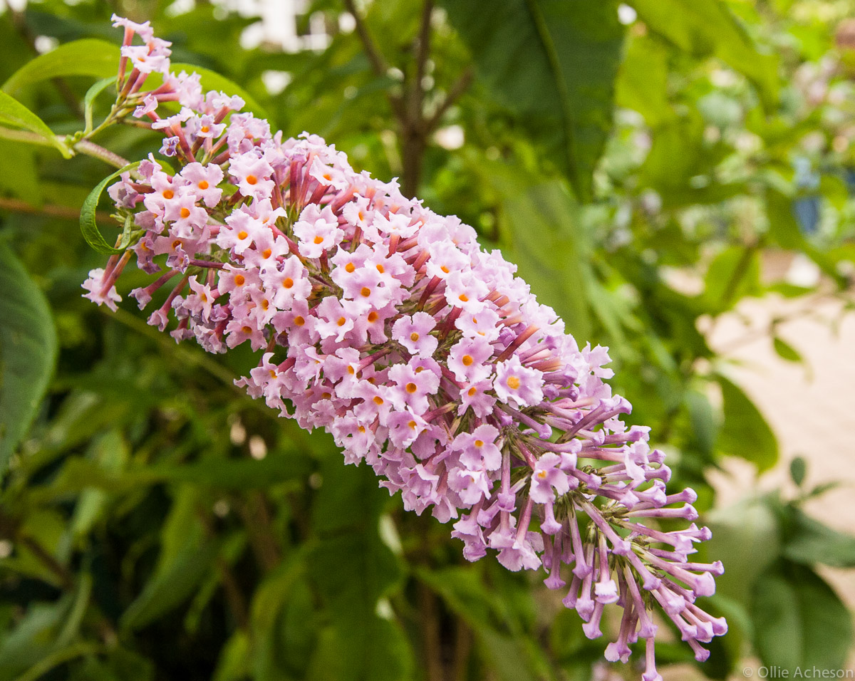The Care Of Lilacs Friends Of The Frelinghuysen Arboretum