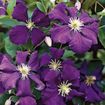 Clematis-Jackmanii-Superba-th