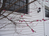 prunus_mume_bright_branch-th