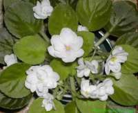 whiteafricanviolet