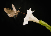 Pollinating-moth-feeds-from-Sacred-Dutura-th