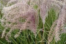 FA_OCT-OrnamentalGrass-KMuccillo-th