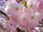 PRUNUS_CV._ACCOLADE_CLOSEUP-th