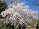 PRUNUS_SUBHIRTELLA_HIGAN_CHERRY-th