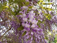 WISTERIA_FLOWERS-th