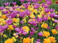 PURPLE%2BYELLOW_TULIPS-th