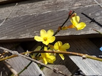 Jasminum_nudiflorum-WinterJasmine-th