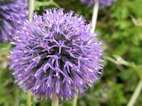ECHINOPS_RITRO-GLOBE_THISTLE-th
