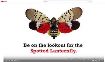 Spotted Lanternfly YouTube