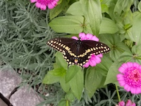 BlackSwallowtailButterfly-th