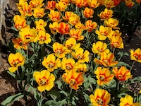 YELLOW_TULIPS-th