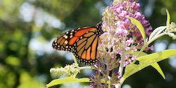 Monarch_on_Buddleia-th