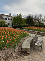 Tulips_af-th