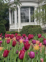 Tulips_at_The_Mansion_af-th
