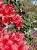 Azalea+Bee-th