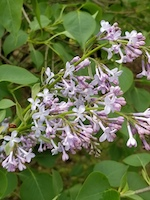 Lilac-th