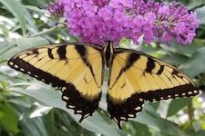TigerSwallowtail_Buddleia-th