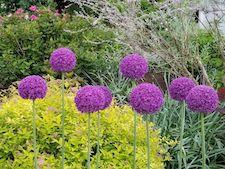 AlliumGiganteum-th