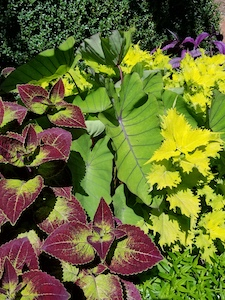 COLEUS_COLOCASIA_PERSIAN_SHIELD-th