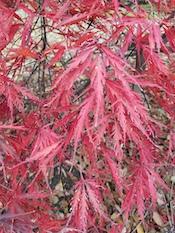 threadleaf Japanese maple