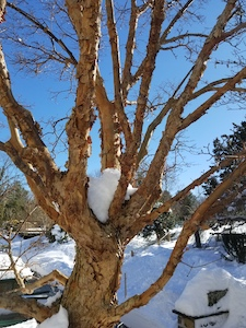 paperbark maple and snow