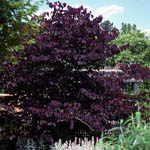 Cercis_canadensis_Forest_Pansy_th