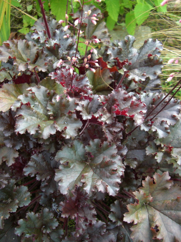 The Year of the Heuchera | Friends of The Frelinghuysen Arboretum