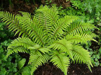 Polystichum_polyblepharum-th