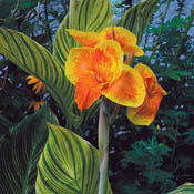canna_pretoria_ds_th