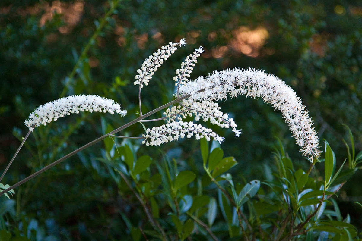Native plants for our gardens friends of the frelinghuysen arboretum a hillside black beauty dhlflorist Image collections
