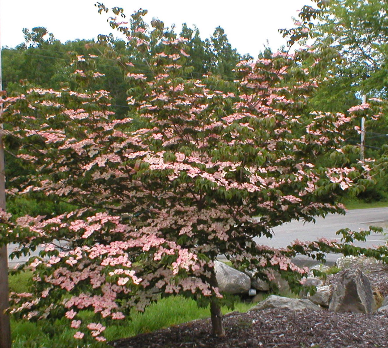 Dogwood Tree Kousa: Great Trees To Add To The Your Landscape