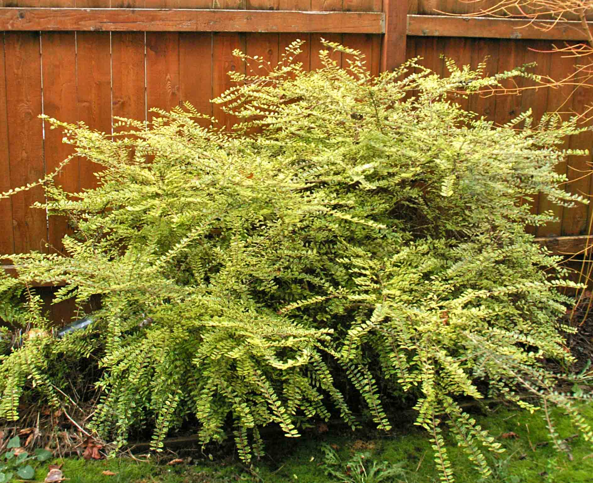 Landscaping With Honeysuckle : Image from http arboretumfriends images plantsale lonicera baggesens