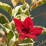 Mandevilla_Fire_and_Ice-th