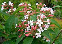abelia_mosanensis-th
