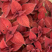 coleus-big-red-judy-th
