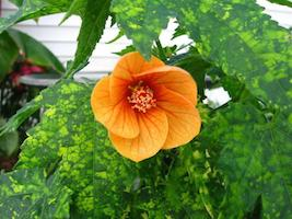 Abutilon_thompsonii-th