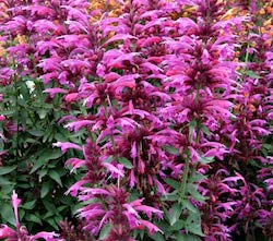 Agastache_grape_nectar-th