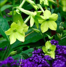 Nicotiana_lime_green-th