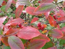 aronia_arbutifolia_brilliantissima-th