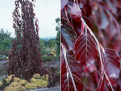 fagus_sylvatica_purple_fountain-th