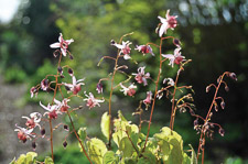 Epimedium-Pink-Elf1-th